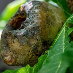A rotten pawpaw still on the tree, being feasted on by birds and other native animals