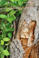 A rotten tree trunk with honeysuckle vines