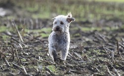 A rough haired Terrier walking in a muddy field with muddy legs.