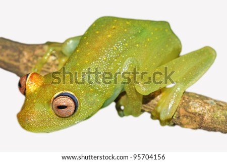 A Rough Skinned Green Glass Treefrog (Hypsiboas cinerascens) in the Peruvian Amazon Isolated on white with space for text
