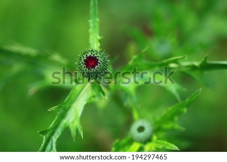 A round prickly bud with pointed green leaves.