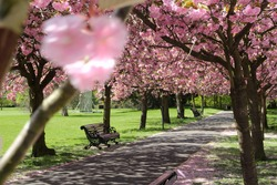 A row of cherry blossom trees line a park in the Spring time.