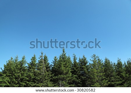 A row of fir trees against a bright blue sky. Lots of copyspace.