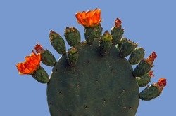 a row of orange flowers and buds of a prickly pear resemble a candelabra