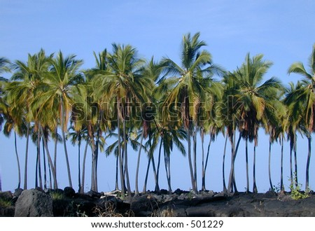 A row of palm trees grows at the edge of a lava field on the Big Island of Hawaii.