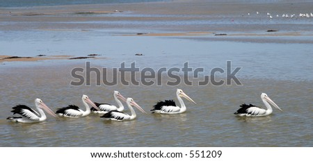 A row of pelicans swimming across the bay