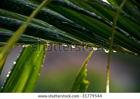 a row of rain drops line the bottom of  a large leaf on a palm tree after rain storm