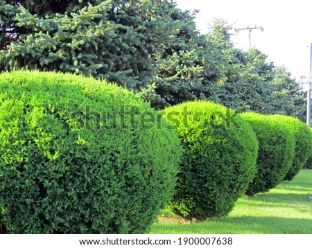 A row of spherically trimmed lush juniper shrub hedges growing on lawn in the front of a row of fir trees with a couple of power poles under sunshine in spring Foto stock ©