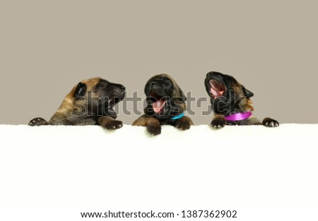 A row of three  breed belgian shepherd malinois puppies  hanging over a long blank banner. Isolated on light background. Newborn puppies background.Puppies sing a song #1387362902