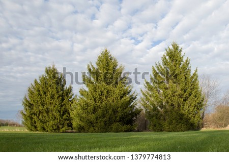 A row of three mature pine trees, ascending in size from left to right, divides two plots of land in an otherwise open field. Green grass fills the foreground and pillowy clouds cover a blue sky.
