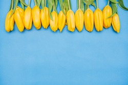 A row of yellow beautiful tulips lies on a blue background. The concept of the holiday - 8 of March, Women's Day, Valentine's Day, holiday, mother's day, banner. Place for text. Greeting card