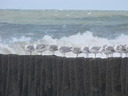 a row seagulls is sitting at a beach pole in the sea with waves at the dutch coast in cadzand, holland