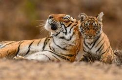 A Royal Bengal Tiger mother & cub. Ranthambhore National Park. India