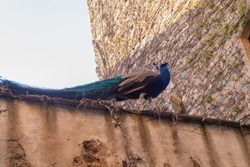 A royal peacock walking over a wall in a medieval street.