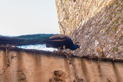 A royal peacock walking through the top of a medieval wall in Caceres, Spain.