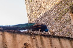 A royal peacock watching over a wall in a medieval street.