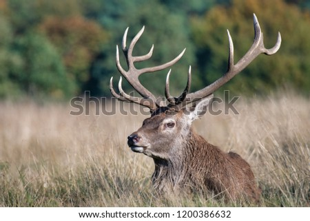 A royal red deer stag lies lazily on the grass in the sunlight. It is looking to the left and clearly shows his detailed antlers and tines #1200386632