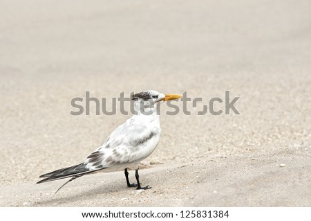 A Royal Tern shorebird standing on a Florida beach with shallow depth of field, plenty of copy space for text - stock photo