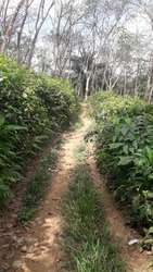 A rubber forest.  A small sandy road.  Two tea estates on either side of the sandy road.