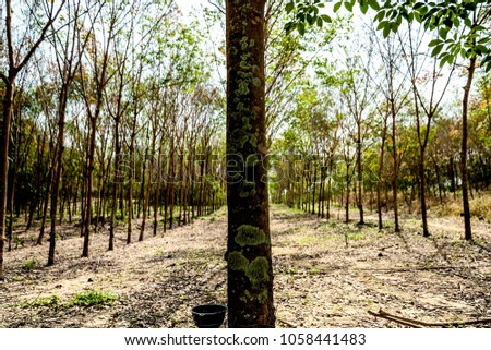 a rubber tree with rubber trees as a background in a rubber plantation  #1058441483