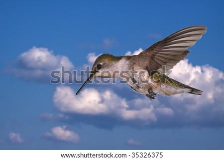 A Ruby throated hummingbird against the sky