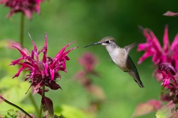 A Ruby-throated Hummingbird Hovering near a Bee Balm Flower