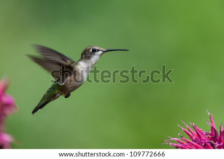 A Ruby-throated hummingbird hovers near the purple petals of a bee balm flower.