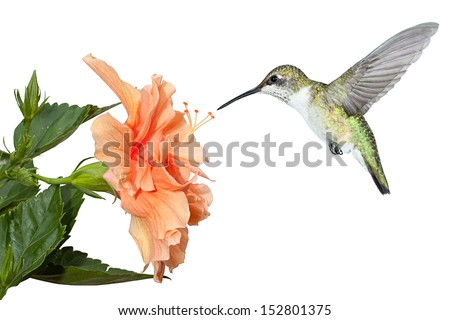 a ruby throated hummingbird hovers over a fully bloomed hibiscus in search of pollen and nectar. White background.