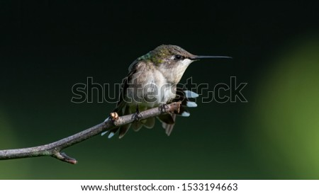 A Ruby-throated Hummingbird perched on a twig.