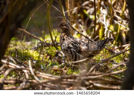 A Ruffed Grouse in the Pukaskwa National Park in Canada #1465658204