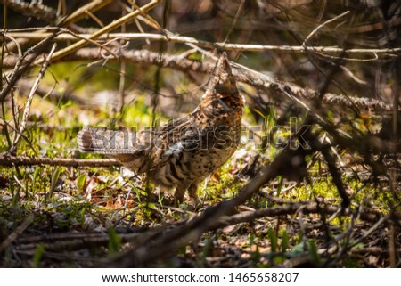 A Ruffed Grouse in the Pukaskwa National Park in Canada #1465658207