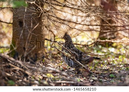 A Ruffed Grouse in the Pukaskwa National Park in Canada #1465658210