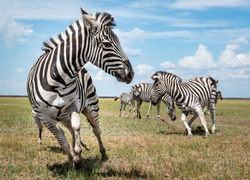 A running herd of zebras in a national biosphere reserve Askania-Nova, Ukraine
