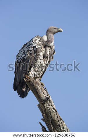 A Ruppell's vulture (Gyps rueppellii) perched on a branch in the Ndutu area of the Ngorongoro Conservation area, Tanzania