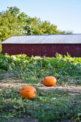 A rural, local, family owned, small business, pumpkin patch with some ripe pumpkins ready to pick for Halloween or fall decor.