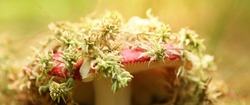 A russula mushroom growing out of moss in a forest lit by the sun. High quality photo
