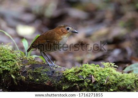 A Rusty-tinged Antpitta standing on a log. Stockfoto ©