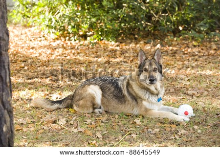 A sable German Shepherd Dog lying down on the ground with a toy.  He is wearing a collar and tag. He is outside lying on autumn leaves.