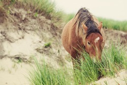 A Sable Island wild horse grazing on blades of marram grass in the sand dunes. A rare glimpse into the world of Sable Island.