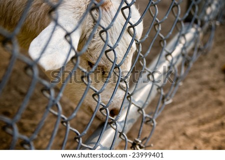 A sad animal pondering its fenced environment