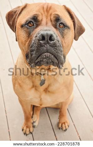 A sad bull mastiff dog sitting on a patio. #228701878