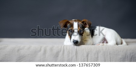 a sad Jack Russell Terrier puppy lying and looking before gray background
