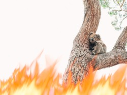 A sad koala looking for help due to the bushfires all over Australia. This iconic marsupial has become an endangered species after his main habitat have been burn out. Copy space. Australian fires