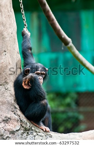 A sad-looking chimpanzee all chained up