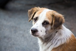 A sad-looking street dog with folded ears looks at the camera