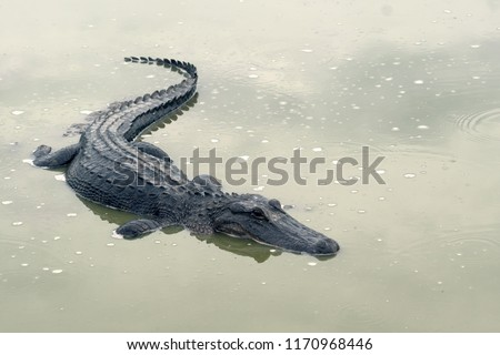 A sad Mississippian alligator  (Alligator mississippiensis) in a drying pond. Drought in Brazoria National Wildlife Refuge, Texas, USA