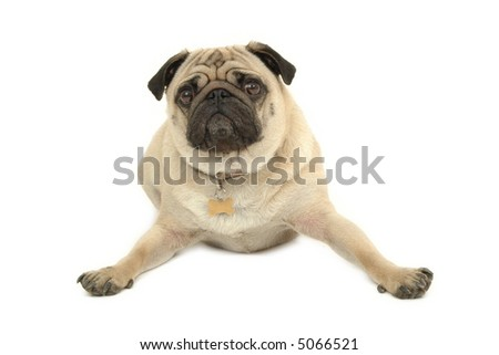 A sad pug is resting on white background