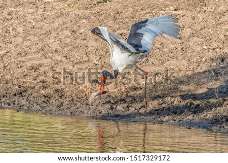 A saddle-billed stork, Ephippiorhynchus senegalensis, with its prey, a catfish, at  a river