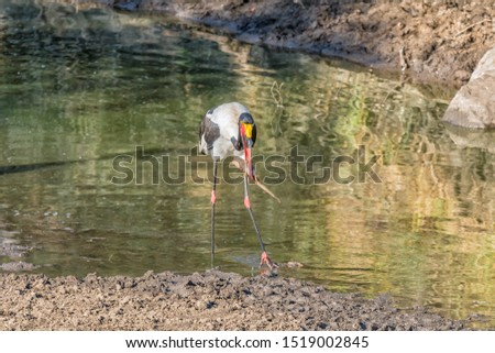 A saddle-billed stork, Ephippiorhynchus senegalensis, with its prey, a catfish, in a river