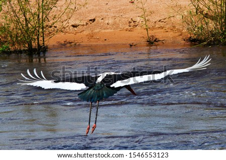 A Saddle-billed Stork flaps across the channel of the Great Ruaha River whilst feeding. The small yellow wattles at the base of the beak help identify a male from the yellow eye of a female.
